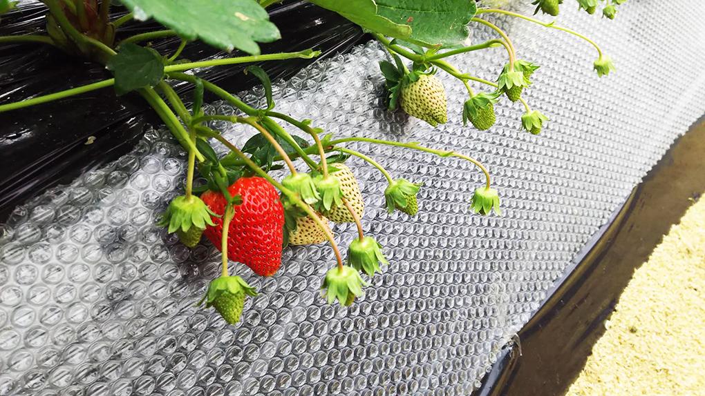 イチゴは12月頃から収穫が始まる。
